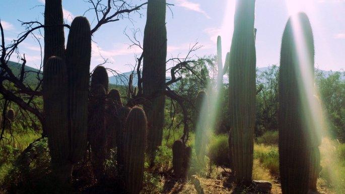 sabino saguaros