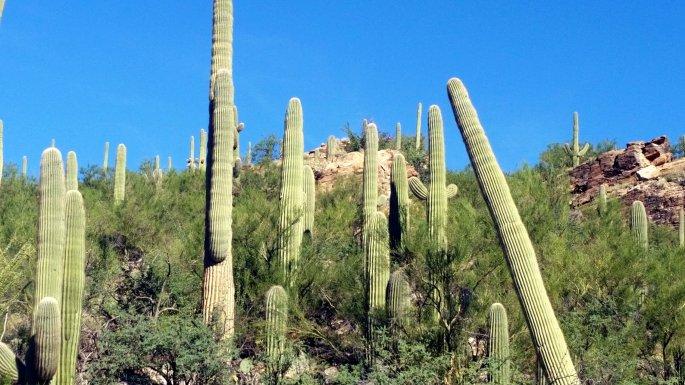 sabino saguaros 2