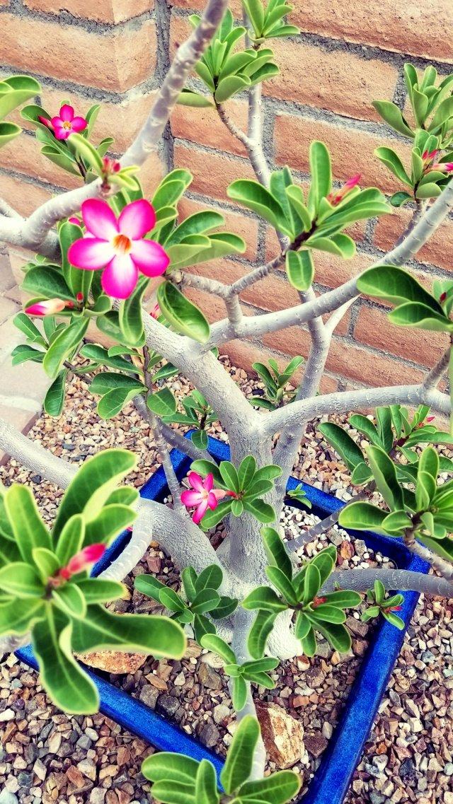 desert rose 3
